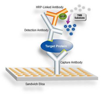 sandwich elisa assay protocol All elisa protocols in a single place whether you're looking for sandwich, direct, indirect, competitive, inhibition, bridging, capture or another elisa protocol.